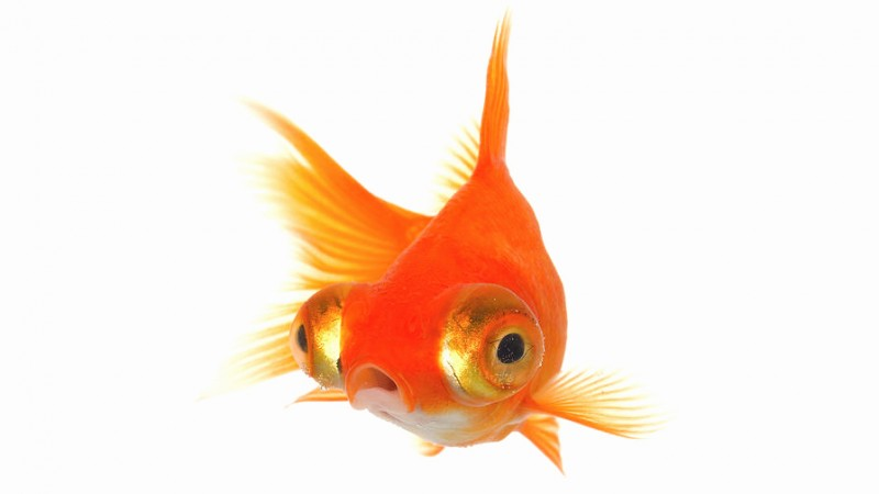 Goldfish make me nervous